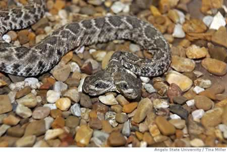 Two headed rattlesnake